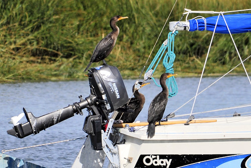 Cormorants on a Boat