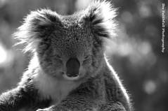 b&w koala (Axemaniac-Art) Tags: bw koala rockon bigmomma faithfull axemaniac ultraherowinner pregamesweepwinner ikefaithfull pregameduelwinner
