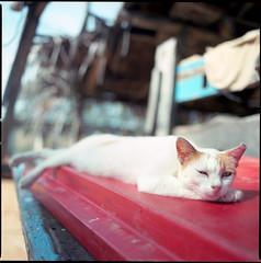 75593561 (Nasey) Tags: 120 6x6 film animal cat mediumformat bokeh kitty hasselblad sleepy squareformat malaysia terengganu fishingvillage marang distagon carlzeiss 503cw hasselblad503cw 60mmf35 nasey nasirali distagonct