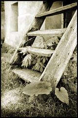 Nature's Composition (ZoSo74) Tags: bw white black alps film leaves foglie analog 35mm nikon stair country campagna scala rodinal alpi montagna bianco ilford fp4 nero champoluc valdaosta antagnod fe2 pellicola analogico autaut blackwhiteportfolio