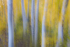 A Dream of Aspens (Robin Black Photography) Tags: autumn painterly yellow gold fallcolor explore aspens sierranevada hwy395 bishop impressionistic owensvalley easternsierras photopainting aspentrees whitebark artisticexposure explored rangeoflight blurredexposure