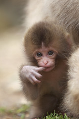 Baby pose (Masashi Mochida) Tags: baby snow japan monkey nagano jigokudani naturesfinest coth supershot rubyphotographer