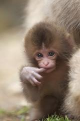 Baby pose (Masashi Mochida) Tags: baby snow japan monkey nagano jigokudani naturesfinest coth supershot rubyphotographer