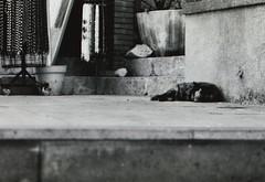 (Rossella Neiadin-Le foto di fiori e L'HDR mi fanno) Tags: cat kitty sicily taormina nikonf5 ilfordsfx200 rgsstreetphotography carlzeiss100mmf2makroplanarzf2