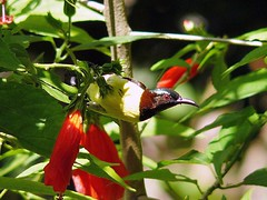 Purple-Rumped Sunbird (SivamDesign) Tags: male bird fauna lumix backyard panasonic sunbird purplerumpedsunbird nectariniazeylonica purplerumped fz8 dmcfz8