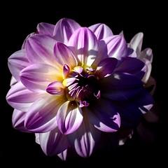 Dahlia (Skyart82) Tags: pink dahlia summer plant flower nature rose blossom sommer natur pflanze rosa bloom blume blte dahlie sptsommer
