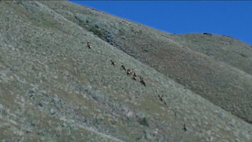 Elk on the Powder River