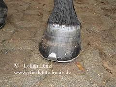 lls290910(8) (Lothar Lenz) Tags: horse caballo cheval huf cavalo pferd hest equus paard hst hestur hufeisen konj hobu zirgs hufbeschlag fotolotharlenz kronrand