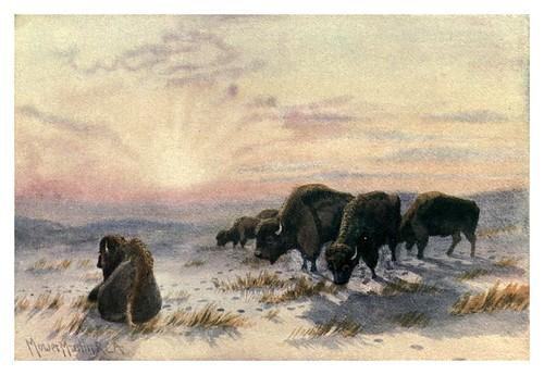 002-Bufalos pastando en invierno-Canada-1907- Thomas Martin Mower