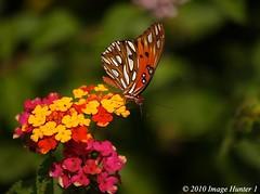 Gulf Fritillary (Image Hunter 1) Tags: pink red orange green nature yellow louisiana gulf bokeh bayou swamp marsh lantana fritillary gulffritillary bayoucourtableau canont2i