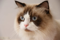 (Lucky Cat Cattery) Tags: cats white beautiful shop wonderful point happy nice kitten sad sweet great seal himalaya blueeye bicolor    mitted