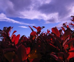 þingvellir okt 2010 haust (Sivva) Tags: autumn red wild plants color macro planta nature closeup iceland moss north nordic thingvellir náttúra mosi icelandic lauf skuggi náttura rauður plöntur sivva nálagt þingvellirokt2010