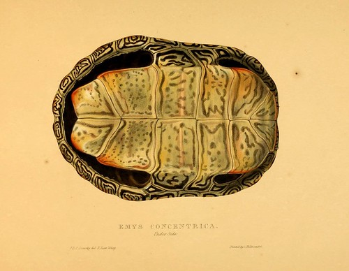 012-Emys concentrica anverso-Tortoises terrapins and turtles..1872-James Sowerby