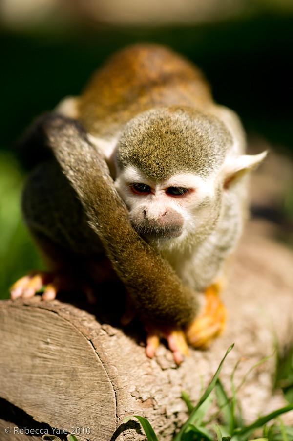 RYALE_African_Dawn_Squirrel_Monkeys_7