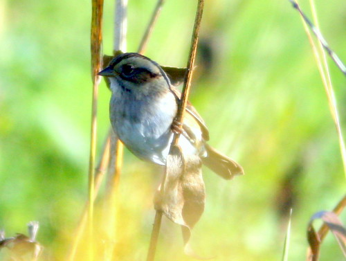 Clay-colored Sparrow 2-20101007