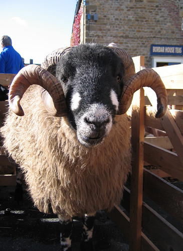 Dalesbred ram with big horns