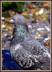 An eye for detail ! (W J (Bill) Harrison) Tags: bird colours pigeon nz wellington colourful picnik wellingtonnz canoneos50d wjbillharrison
