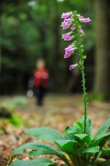 Fin and Foxglove (MrHRdg) Tags: wood pink flower green freeassociation woodland woods dof bokeh son foxglove mapledurham