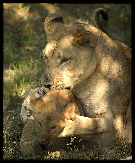 1001_loc_Lions3