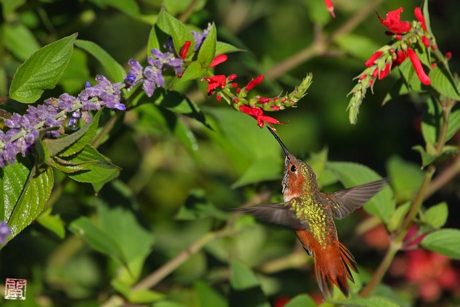 Allen's Hummingbird 10101-2