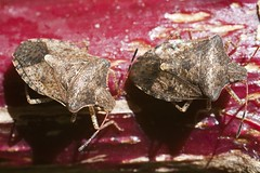 "Stink bugs • <a style=""font-size:0.8em;"" href=""http://www.flickr.com/photos/30765416@N06/5072525572/"" target=""_blank"">View on Flickr</a>"