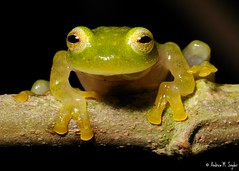 Glass frog (asnyder5) Tags: wild latinamerica nature glass fauna america nikon rainforest wildlife conservation amphibian honduras science frog research jungle latin tropical cloudforest biology herp centralamerica biodiversity herpetology 105mm arboreal cusuco nikon105mm glassfrog operationwallacea opwall montanecloudforest hyalinobatrachiumfleischmanni andrewsnyder cusuconationalpark mygearandmepremium asnyder5 andrewmsnyder