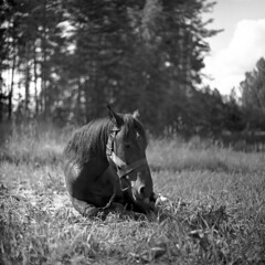 Where the horses sleep (ted.kozak) Tags: saved bw horse 6x6 field grass forest mediumformat square deleted7 deleted9 deleted6 bokeh deleted3 deleted2 saved2 deleted4 save3 deleted10 deleted5 deleted rodinal lying deleted8 kiev88 selfdeveloped 100iso fujineopanacros volna380mm kozaktedkozak