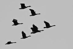Canada Geese-5024 (Cycroft Photo) Tags: ontario canada nature birds burlington iso200 wildlife f8 canadagoose brantacanadensis rbg d300 70200f28 1320sec 04oct2010