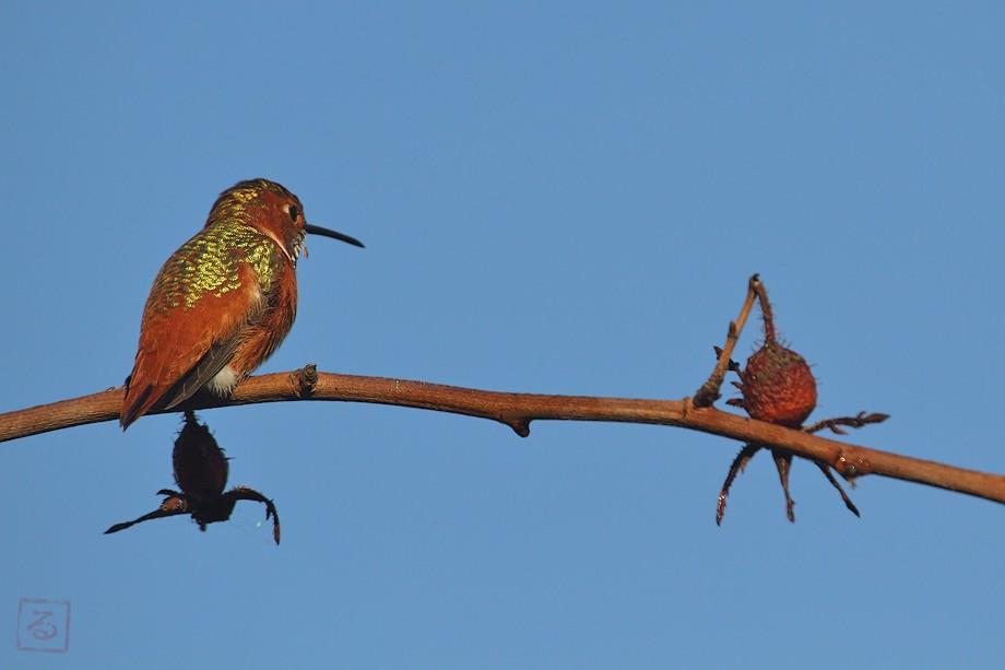 Allen's Hummingbird 10101-4-1