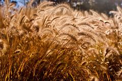 Bending (danehillard) Tags: autumn fall grass season photography photo weed image bend wind fuzzy wheat picture puff pic blow photograph dane puffy poofy hillard sonyalphadslra200 danehillard