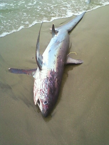 Shark Venice Beach