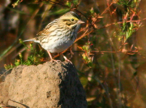 Savannah Sparrow 2-20101016