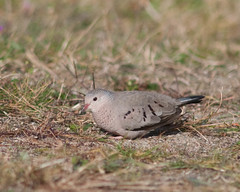 Common Ground-Dove (theowlranch) Tags: doves whitefishpoint commongrounddove