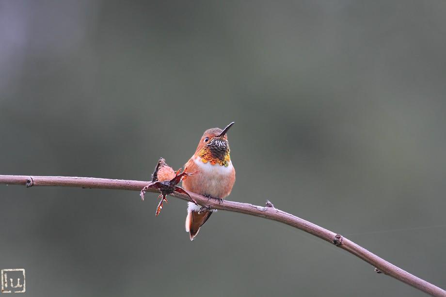 Allen's Hummingbird 101810-8