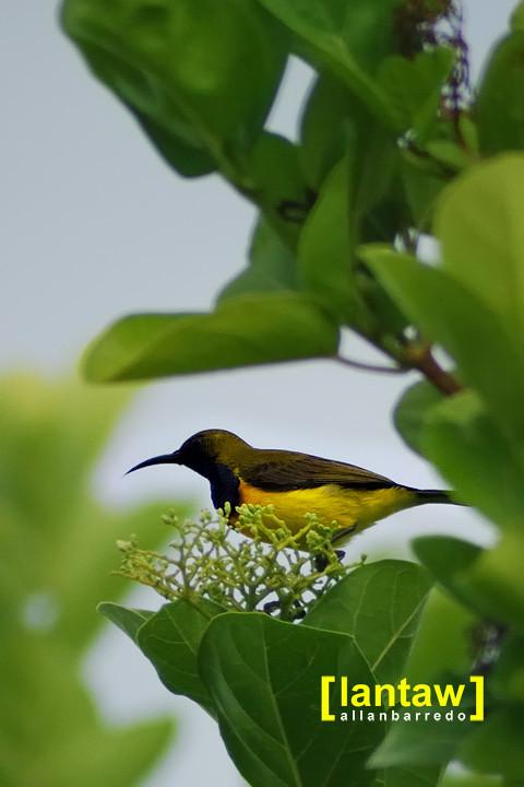 Bolobadiangan Sun Bird (Tamsi)