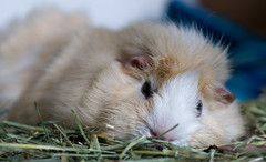 The unbearable flatness of being (debunix) Tags: guinea pig cavy george