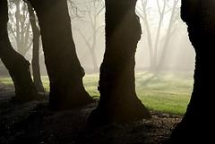 Mist Among Oaks (Victoria Bennett Beyer) Tags: california morning trees mist nature fog forest landscape dawn early oak woods meadow dreamy norcal etsy oaks magical enchanted daybreak wooded