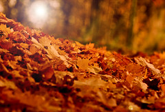 HeRbSt (nettisrb) Tags: wood autumn light red brown color rot fall colors leaves forest canon germany gold golden licht leaf dof shine bokeh laub herbst jahreszeit autumncolors wald bltter schatten farben boden herbstfarben gefallen liegend wlder