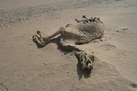 johns-dead-camel1-480x320