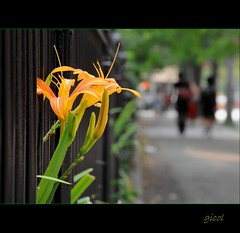 The Creation of Beauty (gicol) Tags: street nyc newyorkcity people orange usa ny flower color fence us strada dof unitedstates gente flor via washingtonsquare fiore naranja lilium arancio giglio estadosunidos inferriata statiuniti