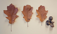 found oak leafs & acorns (greenicadesign) Tags: life autumn brown fall leaf still oak acorn creamy