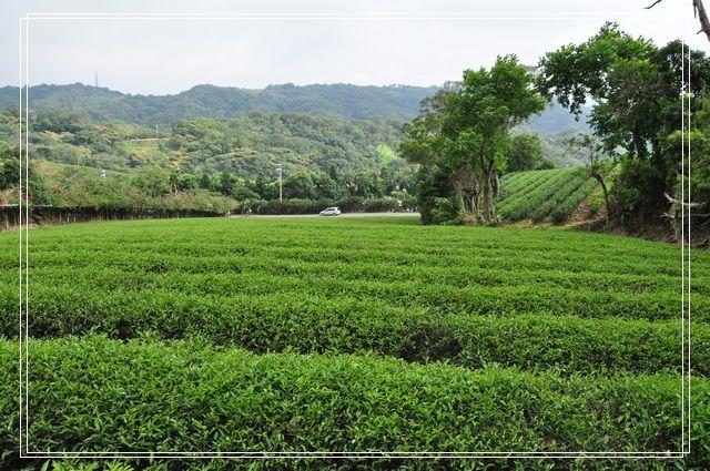 三水茗園~茶裡王14