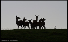 Lookout Post (PaulRoberts89) Tags: sunset grass female evening post cheshire dusk group lookout deer nationaltrust reddeer silouhette lymepark disley