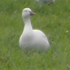 Snow Goose at Hagerman NWR 2