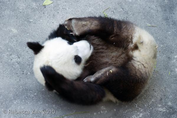 RYALE_Panda_Bears_32