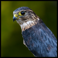Merlin falcon 1 (Jen St. Louis) Tags: mountsberg ontario canada bokeh mountsbergraptorcentre nikond90 nikkor300mmf4 birds birdsofprey raptors merlin falcons captive jenstlouis jenstlouisphotography wwwjenstlouisphotographycom jenstlouisphotographycom specanimal
