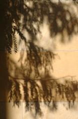 Artful Shadows at the Met - NYC (MY PINK SOAPBOX) Tags: nyc newyorkcity light stilllife naturaleza ny abstract tree luz nature leaves wall hojas arbol nikon branch shadows artistic manhattan branches natura artsy metropolis gothamist fifthavenue artistica gotham abstracto astratto sombras metropolitanmuseum artful rama themet metropolitanmuseumofart ramas naturalezamuerta artisticas museummile natureabstract anahidecanio abstraitte naturalezaartistica