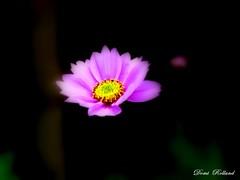 Ange (Domi Rolland ) Tags: france fleur jaune canon ana europe violet le amour beauté chateau tendresse douceur aveyron brousse midipyrénées
