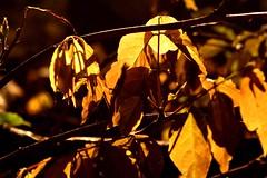 As folhas secas vo caindo, ganharam novo colorido, a natureza se revela  EXPLORE (Nay Hoffmann) Tags: flores folhas contraluz de fim seca inverno rvore outono tarde estaes amarelado