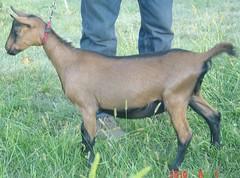 DAIRYLICIOUS WILD FIRE - B001531301 (Erin Cooper Young Living) Tags: wild fire goat doe american dairy genetics oberhasli dairylicious adga goat:sex=doe goat:registry=american goat:breed=oberhasli goats100901 b001531301 goat:regnumber=b001531301 goat:regname=dairyliciouswildfire